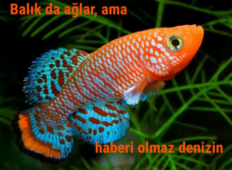 Balık da Ağlar…